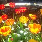 Tulips in Italian Garden next to Pergola