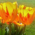 Tulips in Italian Garden near Pompeian Wall