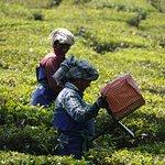 Photo of Tea Gardens