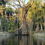 Banyan tree in lagoon on Sunset Kayak tour
