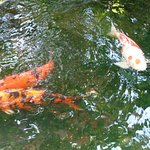 11 The koi looking for a handout.