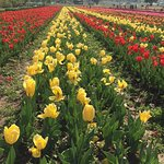 Photo of Indira Gandhi Tulip Garden