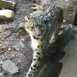 one of the three snow leopards