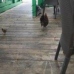 chicken walking around