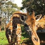 Photo of Giraffe Centre