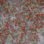Field of poppies inside