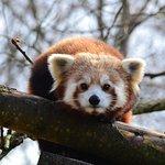 Highland Wildlife park, Red Panda
