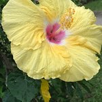 The Yellow Hibiscus