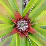 صورة فوتوغرافية لـ Arruda Pineapple Plantation