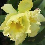 Striking Yellow Cattleya Hybrid