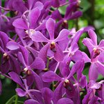 Cut Flower Mokara Hybrid