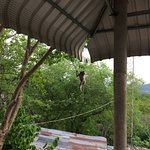 A Macaque playing on the power lines at Phnom Sampeau