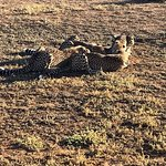Cheetah's evening meal.