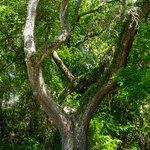 An abundance of live oaks