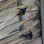Bats resting in the roofing of one of the ruins