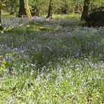 Bluebells near White Moss