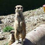 I just love the meerkats