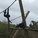 Siamangs played on their ropes and trees!