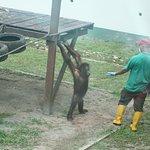 A naughty Orangutan challenging a keeper!