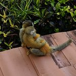 Squirrel monkey outside the dining area.