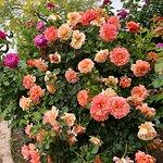 Rose Garden at Mesa Community College in Arizona