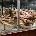 T. Rex Skulls Including Smallest & Largest Ever Found