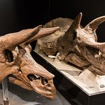 Two Species of Triceratops