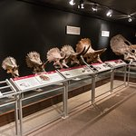 Many Small and Large Triceratops