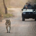 Kapama Game Drive - Big 5 - Lion