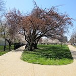 Photo of National Cherry Blossom Festival