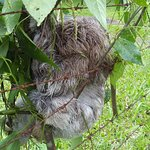 A sleeping sloth across the road from the banana plantation in Limon, Costa Rica.