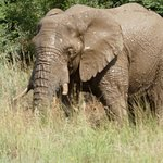 Elephant just out of a waterhole