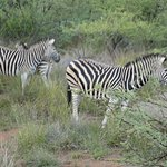 Several zebras located throughout the park