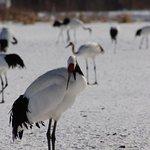 丹頂鶴自然公園照片