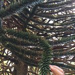 Araucania tree