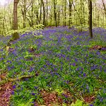 The bluebells are out on the North Downs.  Come and see them!