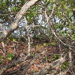 mangrove copse