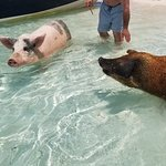 Swimming with the pigs.