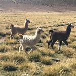 Walking with llamas in open fields