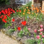 Flame, red and orange tulips