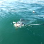 Photo de Great White Shark Tours