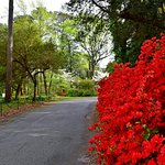 Azaleas and dogwoods seen from entrance to grounds