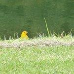 Saffron finches were all over the course