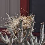 A cactus wren constructed her disheveled nest in front of the museum.