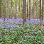 Foto van Hallerbos – ''The Blue Forest''