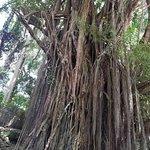 ภาพถ่ายของ Old Enchanted Balete Tree