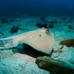 Blue Spot sting ray
