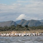 Lake Elmenteita Is the only breeding ground in East Africa for the Great White Pelican