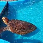 Tartaruga que foi reabilitada