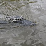 One of the many gators we encountered